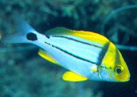 Juvenile porkfish coloration. Photo © Luiz Rocha