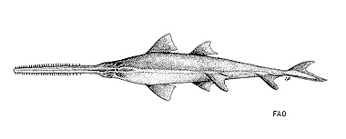 Knifetooth sawfish. Image courtesy FAO