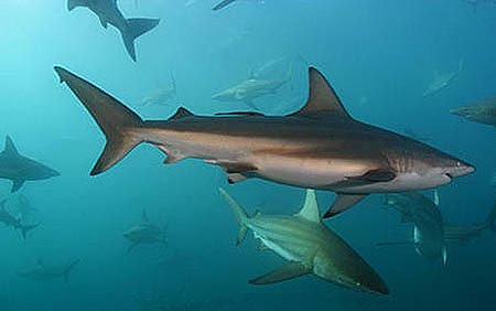Copper sharks (Carcharhinus brachyurus) are likely predators of the knifetooth sawfish. Image © Doug Perrine