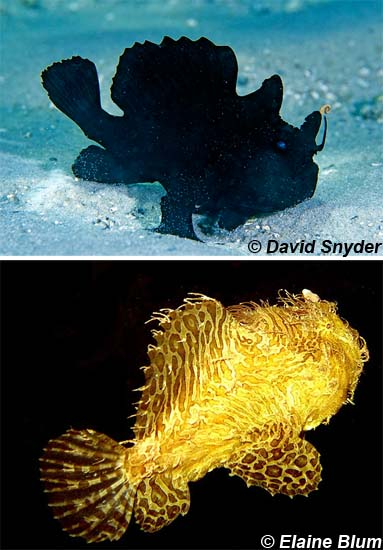 Striated frogfish coloration is quite variable. Photos © David Snyder (top) and Elaine Blum (bottom)