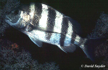 Sheepshead. Photo © David Snyder