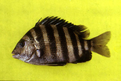 Sheepshead displaying vertical crossbars. Photo © George Burgess