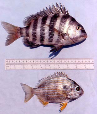 Sheepshead and the closely related seabream (Archosargus rhomboidalis). Photo © George Burgess