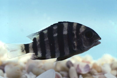 Juvenile Sheepshead. Photo © George Burgess