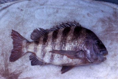 Freshly caught sheepshead. Photo © George Burgess