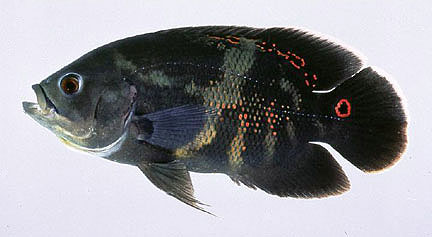 Oscar showing coloration patterns, including the characteristic orange ring on the base of the caudal peduncle. Photo courtesy U.S. Geological Survey/Leo Nico