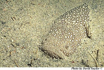 Southern stargazer buried in the sand. Photo © David Snyder