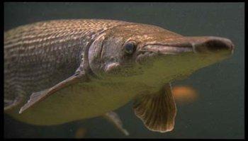 Alligator Gar, Image © Susan Middleton, California Academy of Sciences