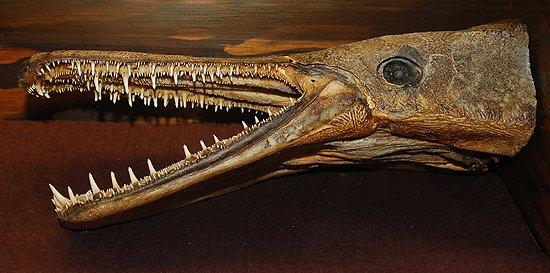 Alligator gar dentition, Image © Cathleen Bester