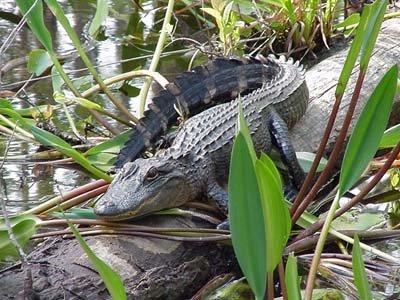 American alligators are a potential predator of alligator gar, Image courtesy U.S. Geological Survey