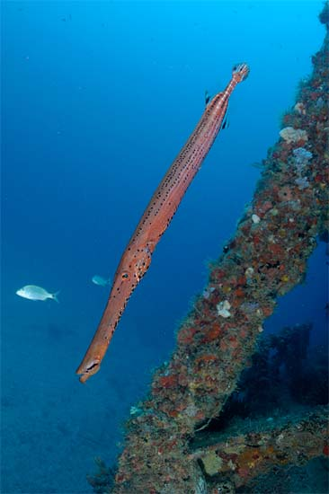 Trumpetfish coloration is most commonly a mottled reddish-brown. Photo © Joe Marino