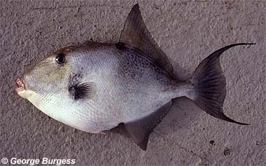Gray triggerfish. Photo © George Burgess