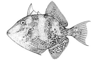 Gray triggerfish. Image courtesy NOAA