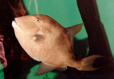 Gray triggerfish. Photo © Virginia Institute of Marine Science