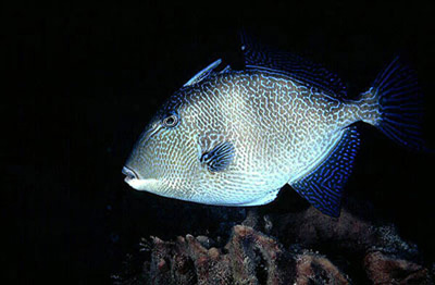Gray triggerfish. Photo © David Snyder