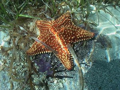 Gray triggerfish feed on benthic invertebrates including seastars. Photo © Leroy Ellis