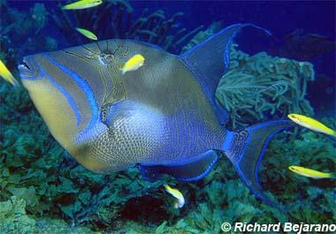 Queen triggerfish. Photo © Richard Bejarano