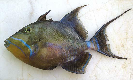 Queen triggerfish. Photo © John Soward