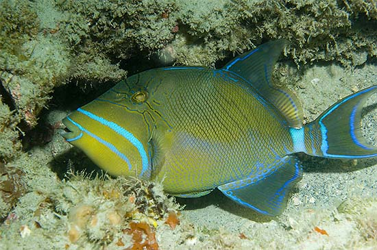 Queen triggerfish have a very distinctive color pattern. Photo © David Snyder
