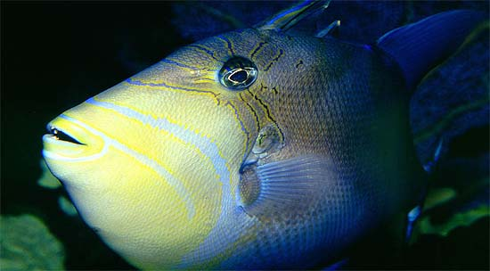 Queen triggerfish are often displayed in public aquarium facilities. Photo © Richard Bejarano
