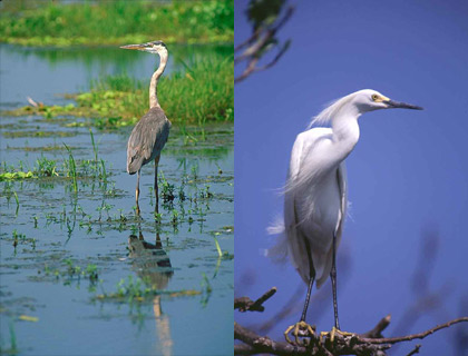 Predators of the pike killifish - great blue heron and snowy egret. Images © South Florida Water Management District