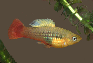 The platyfish (Xiphophorus variatus) is a prey item of the pike killifish in its native habitat. Image © George Burgess