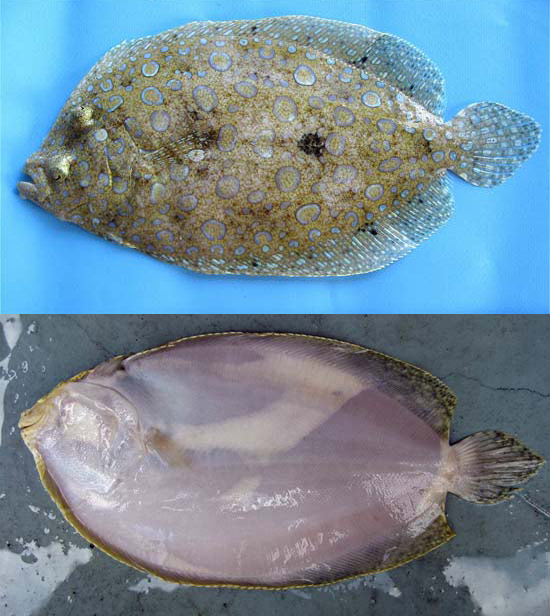 Peacock flounder. Photo © George Burgess (top) and John Soward (bottom)
