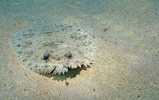 The peacock flounder has the ability to alter its coloration to blend in with its immediate environment. Photo © David Snyder