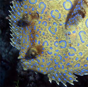 Peacock flounder from Lake Worth Lagoon, Florida. Photo © Susan Meldonian