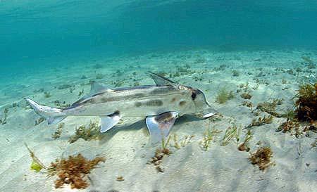 Ghost shark. Photo © Doug Perrine