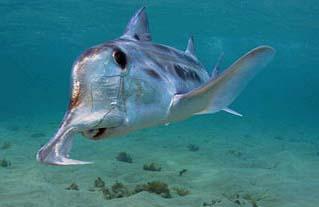 Ghost shark snout. Photo © Doug Perrine