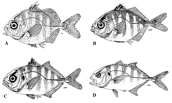 Crevalle jack juveniles: A. 15.3 mm, B. 20.4 mm, C. 32.6 mm, D. 80.5 mm (standard lengths). Images courtesy Berry (1959) in Development of Fishes of the Mid-Atlantic Bight, U.S. Fish and Wildlife Service