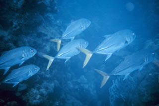 The closely related horse-eye jack (Caranx latus) is frequently seen schooling over reefs. Photo courtesy NOAA