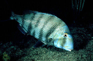 Sheepshead porgy (Calamus penna) are prey for the blacknose shark. Photo © David Snyder