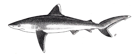 Silvertip shark illustration, courtesy FAO Species Catalog, Vol. 4 Part 2 Sharks of the World