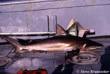 Bignose Shark. Photo © Steve Branstetter