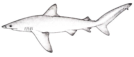 Bignose illustration, courtesy FAO Species Catalogue, Vol. 4 Part 2 - Sharks of the World