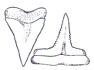 Upper and lower teeth of the bignose shark. Image courtesy FAO Species Catalogue, Vol. 4 Part 2 - Sharks of the World