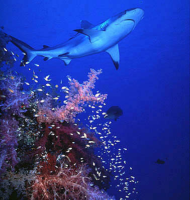 Grey reef shark along the outer edge of a coral reef in the Red Sea. Photo © Jeremy Stafford-Deitsch