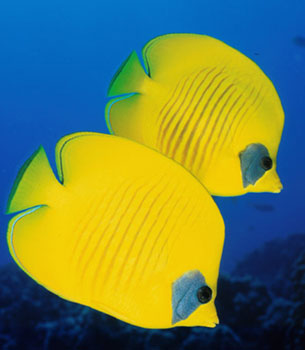 The bluecheek butterflyfish (Chaetodon semilarvatus), along with other butterflyfishes, are preyed upon by the grey reef shark. Photo © Steve Jones
