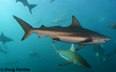 Bronze whaler sharks. Photo © Doug Perrine