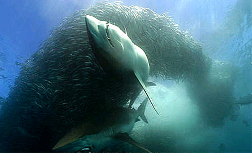 Bronze whaler sharks feeding on sardines off the coast of South Africa. Photo © Doug Perrine
