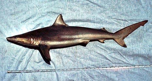 Spinner shark. Photo © George Burgess