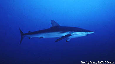 Silky Shark. Photo © Jeremy Stafford-Deitsch