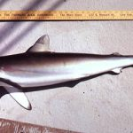 Silky shark (Carcharhinus falciformis) specimen. Photo © George Burgess