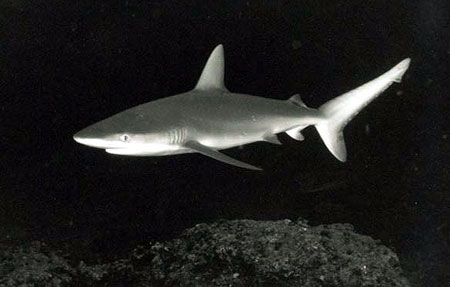 Galapagos shark. Photo © Donald Tipton