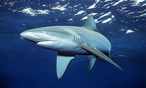 Galapagos shark (Carcharhinus galapagensis) underwater. Photo © Doug Perrine