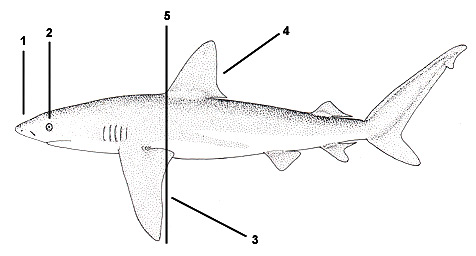 Galapagos shark (Carcharhinus galapagensis). Illustration courtesy FAO, Species Identification and Biodata