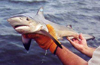 A tagged bull shark pup being released in its nursery ground. Photo © Florida Museum of Natural History