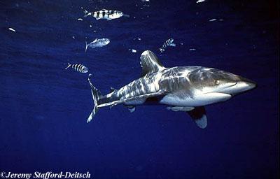 Oceanic whitetip shark. Photo © Jeremy Stafford-Deitsch